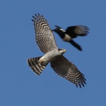 sparrowhawk-magpie-fight-2