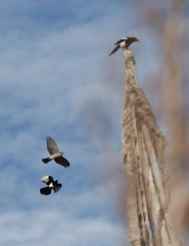 sparrowhawk-magpie-fight-7