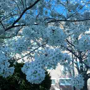 Cherry blossom trees in bloom No. Virginia