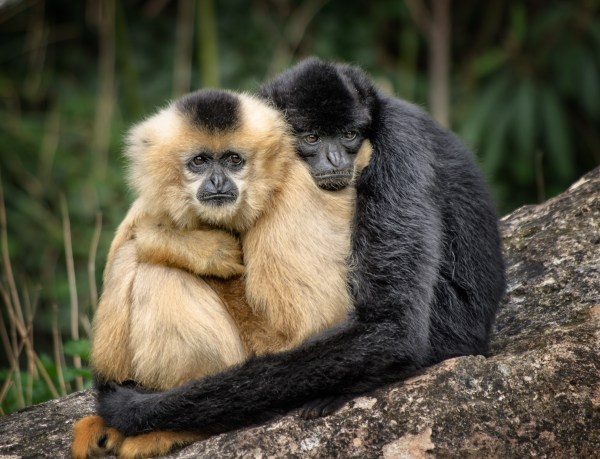 couple gibbons