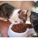 Czym karmić małe kotki?