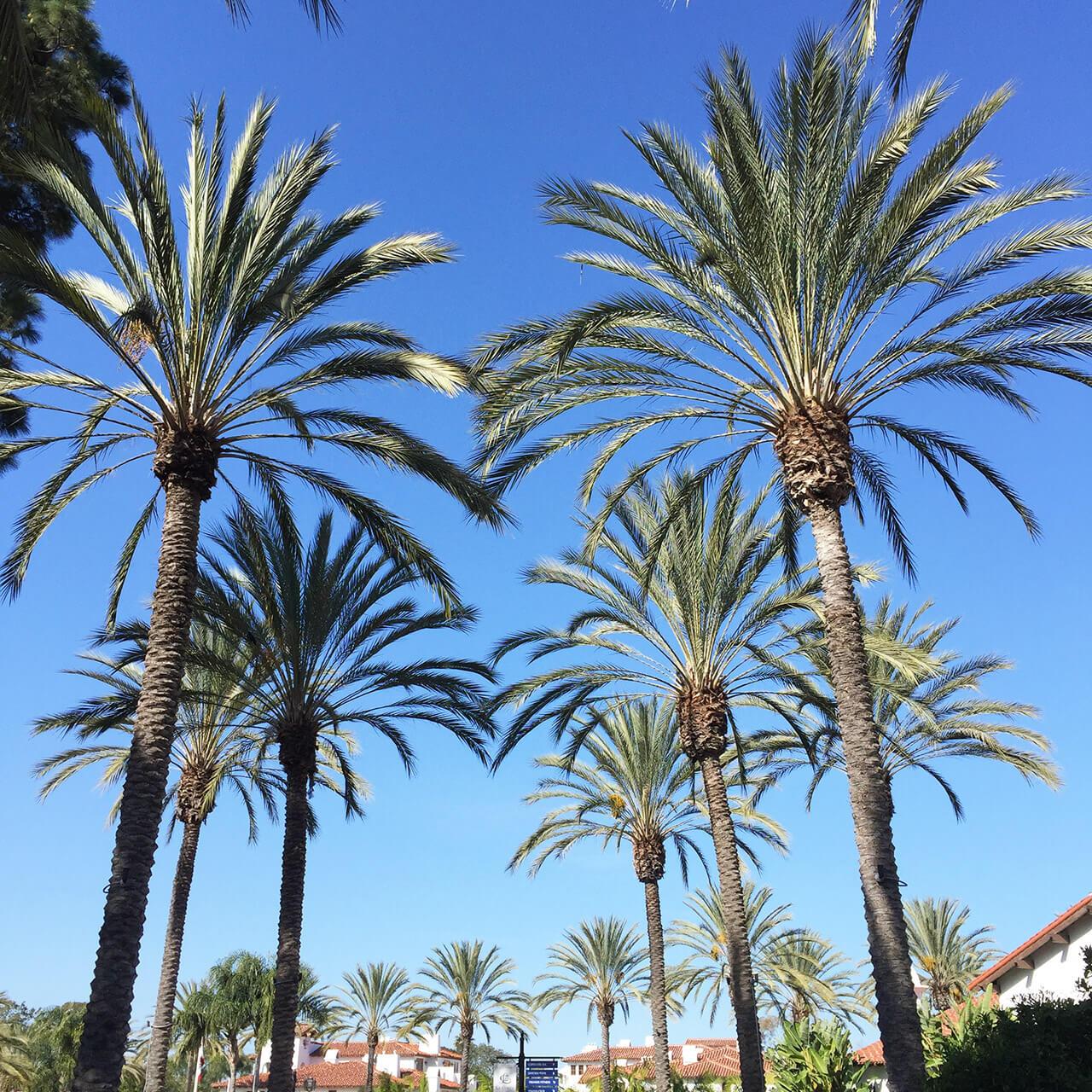 palm trees at omni la costa