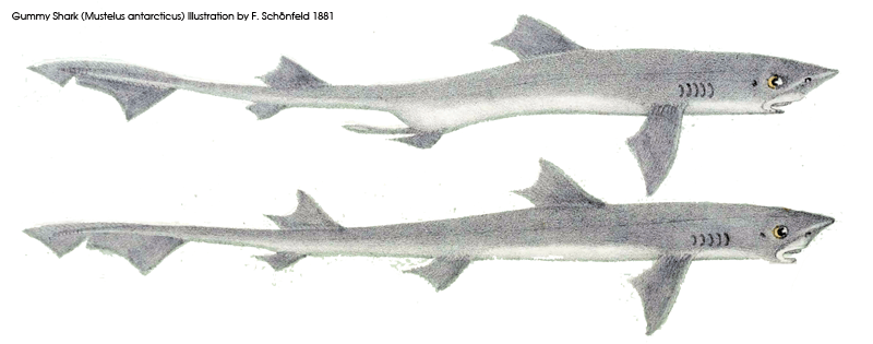 Gummy shark illustration 1881