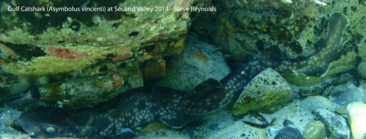 Gulf catshark at Second Valley - Steve Reynolds