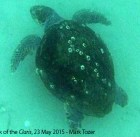 Loggerhead turtle near the wreck of the Claris