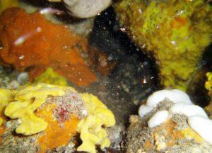 Mysids near shaded ledge wall Second Valley MLSSA dive(Sea Life camera)6-2-017