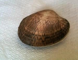 Venus shell