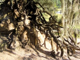 The roots are mesmerizing