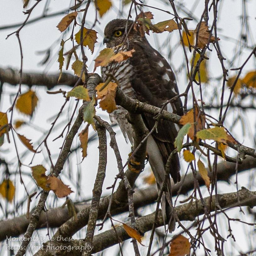 A sparrow hawk in our garden