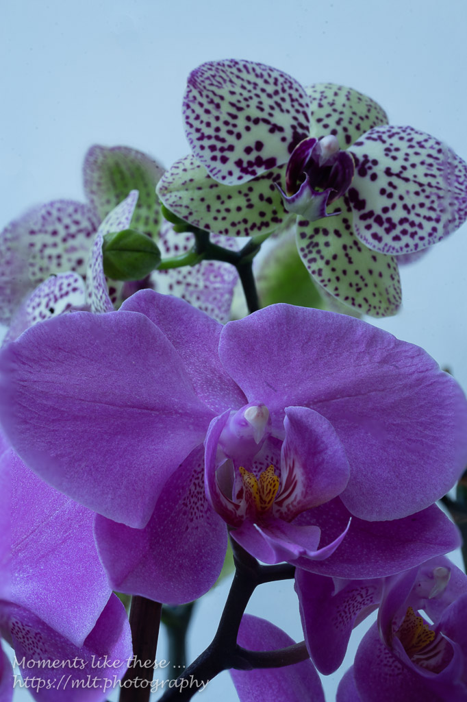 Orchids (focus-stacked)