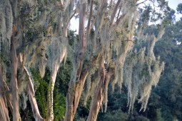 Crepe Myrtle with Spanish Moss at Gloaming