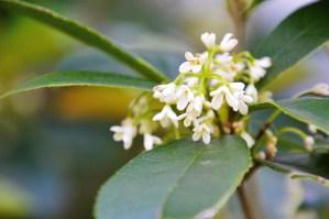 Tea olive