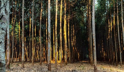 Eucalyptus Forest in Paraguay
