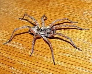 """蜘蛛-不是昆蟲的""""蟲子""""_動物世界 - 微文庫"""