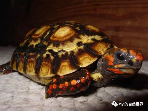 紅腿陸龜的飼養——從入門到繁殖(上)_rlyl的自然世界 - 微文庫