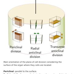 Animal Vs Plant Cell Diagram Hopkins Trailer Tissues. Meristems. Root Apical Meristem. Atlas Of And