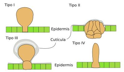 Glándulas de la sal