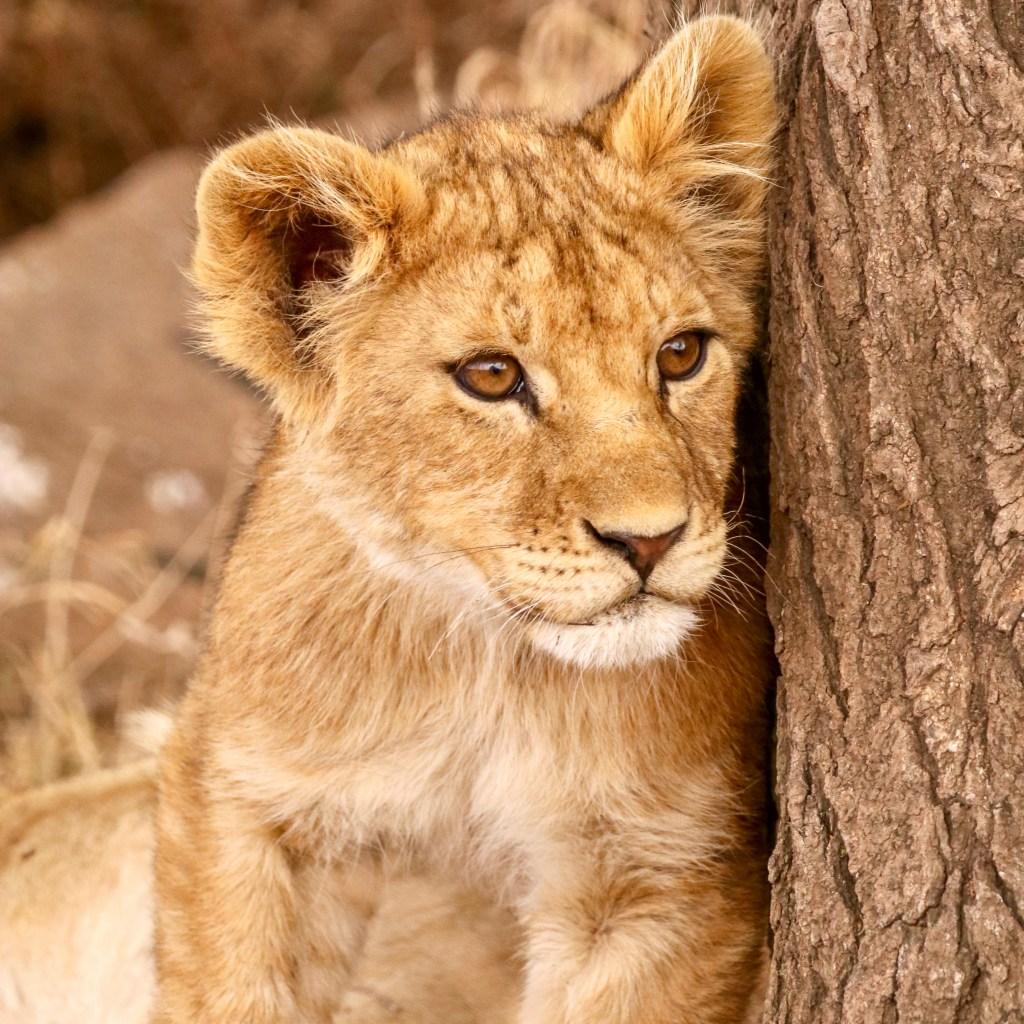 Auf Safari in Tansania (Serengeti, Ngorongoro-Krater, Tarangire, Lake Manyara)