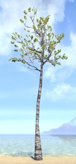 Tree, Twin Poplar