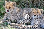 _E7A0635 Cheetah cubs chilling web ready