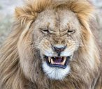 _E7A0801 Lion snarl web ready