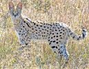 _E7A2289 Serval cat web ready