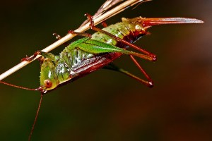 grasshopper-562090_1920