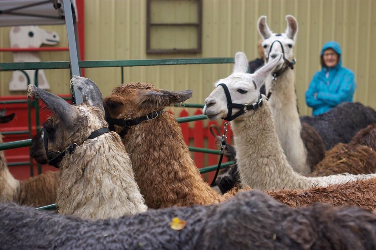 Carlson's Llovable Llamas