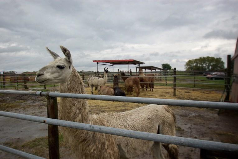 Carlsons LLovable Llamas Waconia Minnesota