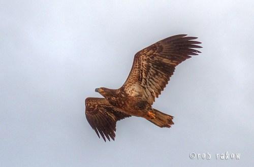 Eagle by Rob Rakow