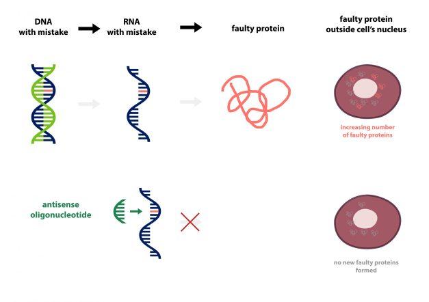Antisense oligonucleotide mechanism