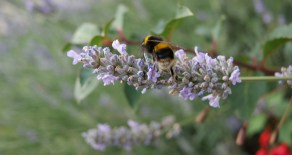 Bees and Green Roofs in Southeast Minneapolis