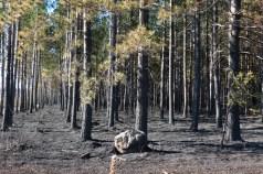 Palsburg Fire burned plantation. Credit: Steve Mortensen, Julie Palkki