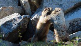 Wrestling Marmots