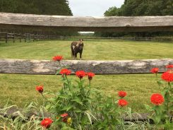 Mini horse looking through the fence with bordering red zinnias
