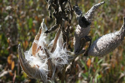 over-ripe bursting pods on mature common milkweed