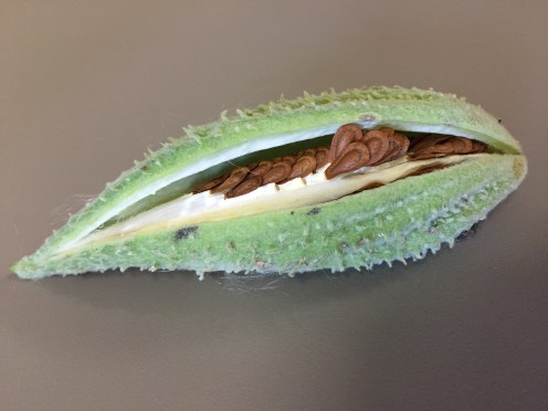 unripe pod with mature seed