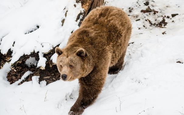 Bear Rod
