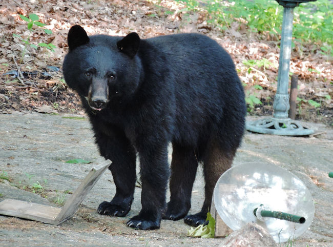 This black bear cub was spotted near a Brockville golf course on Saturday, June 6, 2015 in the area of Heather's Point Road and McDonald Road in Brockville, Ont. (Photo courtesy of Arianna Sterritt)
