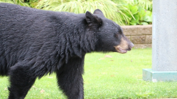 Ontario's Ministry of Natural Resources and Forestry is looking to police forces across the province for answers on the bear issue. But, police say bears are not supposed to be one of their main policing duties. (Curt Petrovich/CBC News)