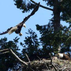 Ontario police seek public's help after bald eagle nest destroyed
