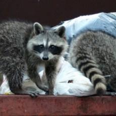 Crews to drop rabies vaccine baits on west side of Toronto