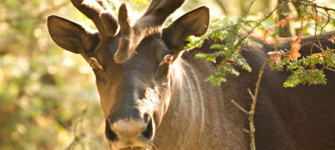 Will anyone act to save the caribou? Ontario is not.