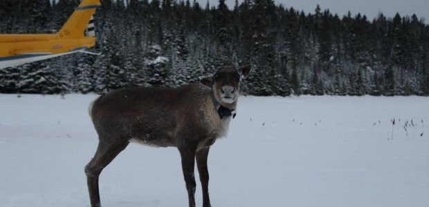 Relocated Lake Superior caribou doing well, scientist says