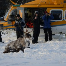Dwindling caribou population being moved off Michipicoten Island — by air