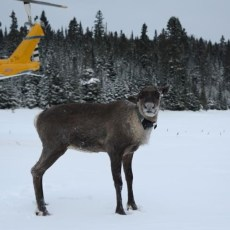 Government moves endangered caribou off island where they were hunted by wolves