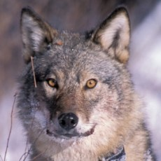 Are wolves the new bears?