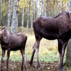 Seeking Public's Help with Cow Moose Shot and Left to Spoil