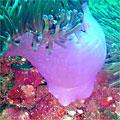 Common Sea Anemone (Radianthus sp.)