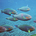 Parrot Fish (Scarus sp.)